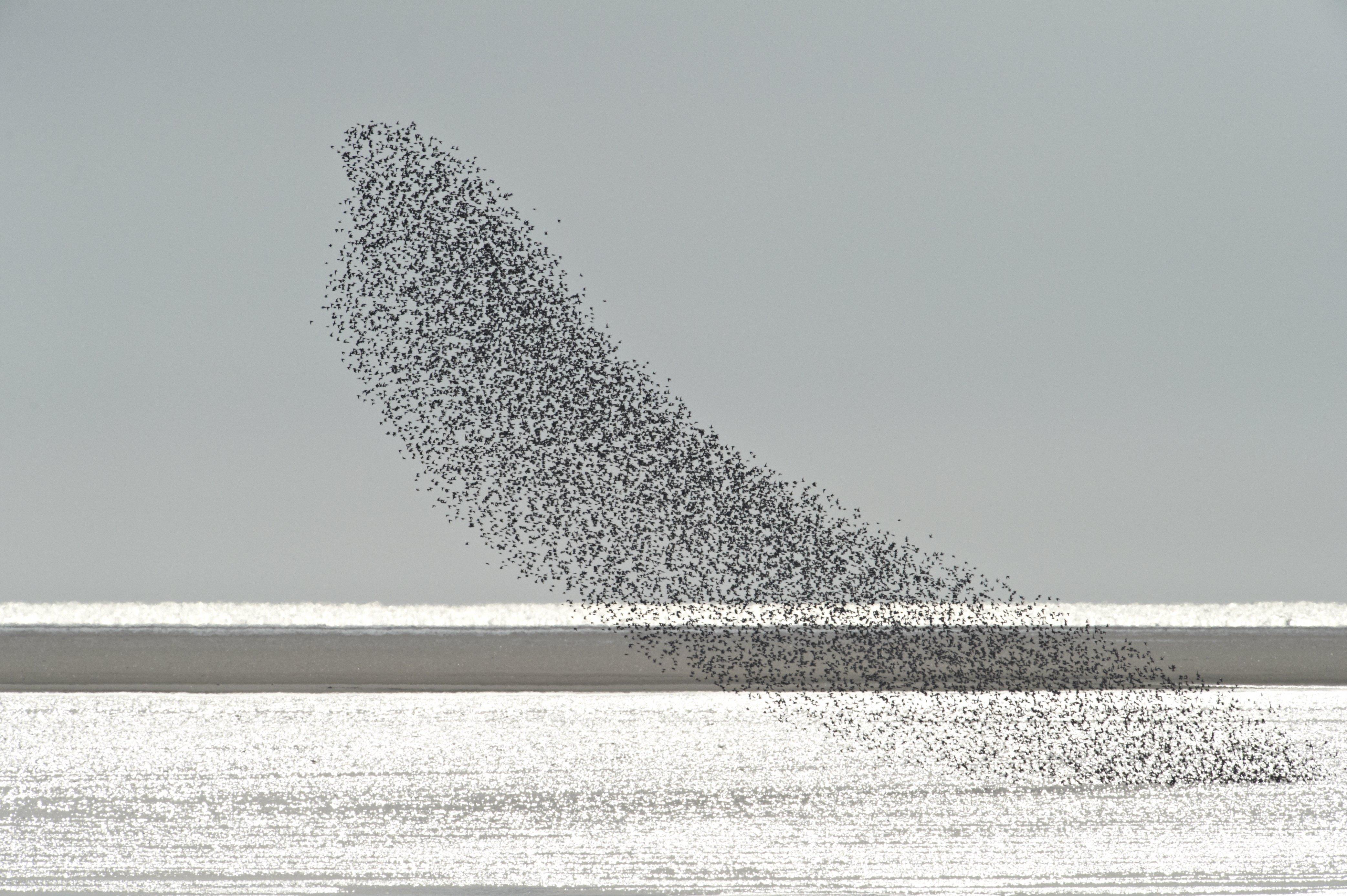 Almindelig_ryle_Vadehavet_Copyright_Lars_Gejl Nationalpark Vadehavet